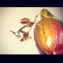 watch_v=XrxbBe0NbuU #mantis #bugs #insects_