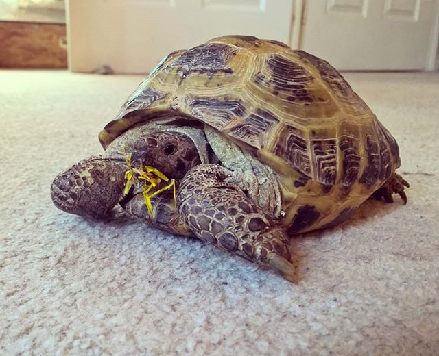 Anyone seen the #yellow #flowers I left on the floor_ #dandilion #horsefieldtortoise #tortoise #livi