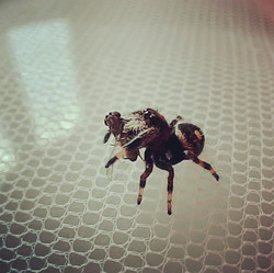 I bwinged you a fwy!! #aw thank you! #regaljumpingspider #pregius egius #arachnids #jumpingspider #f
