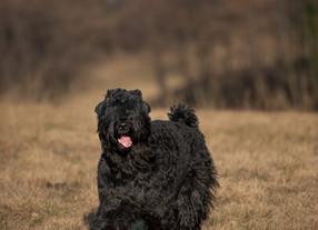Sul Terrier Nero Russo