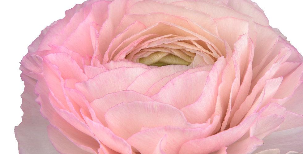 """Pryskyřník Elegance ® """"Rosa Chiaro"""""""