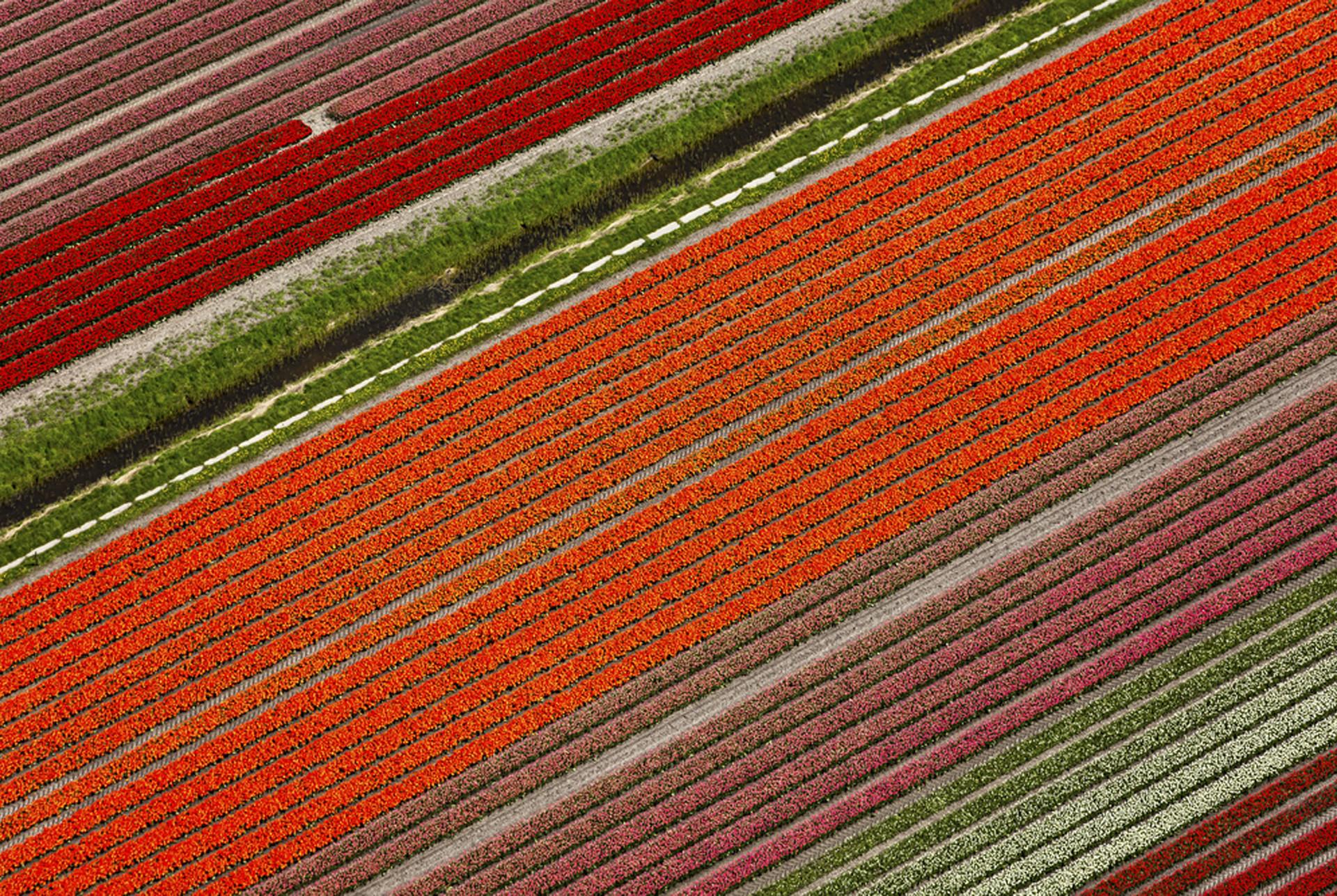 Tulipánová pole v Holandsku