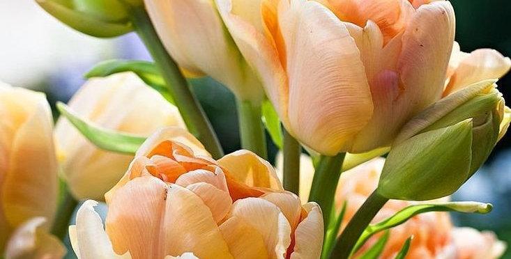 """Tulipán """"Charming Beauty"""""""