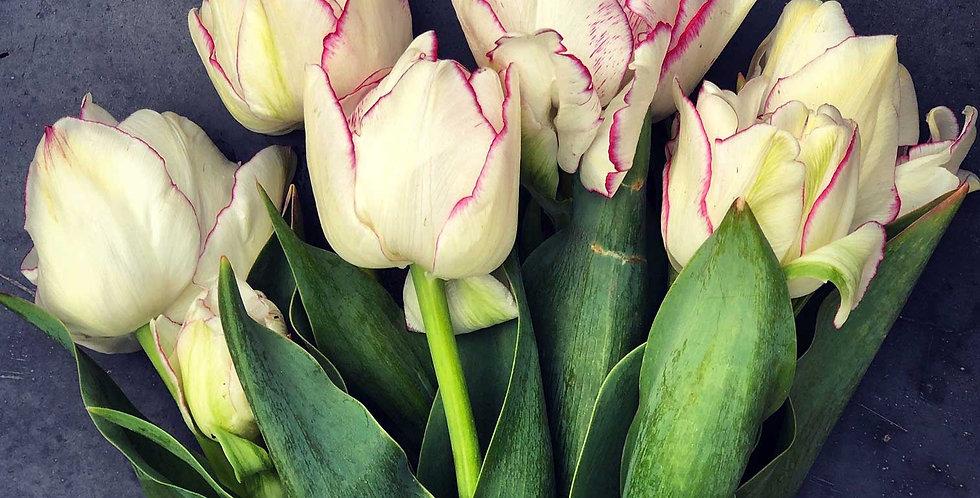 "Tulipán ""Belicia"""