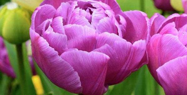 """Tulipán """"Purple Peony"""""""