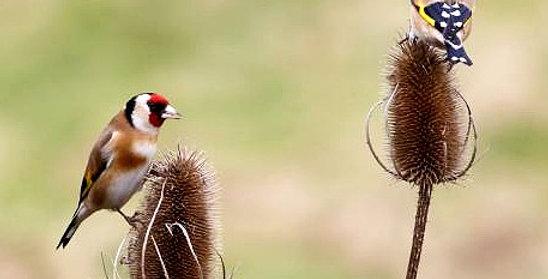 Ptačí nářečí
