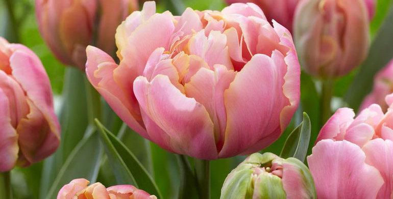 "Tulipán ""Pink Star"""