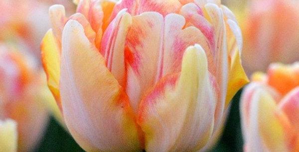 """Tulipán """"Foxy Foxtrot"""""""