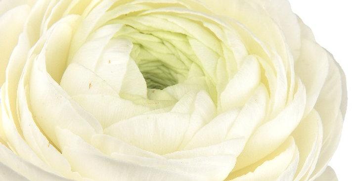 """Pryskyřník Elegance ® """"Bianco"""""""