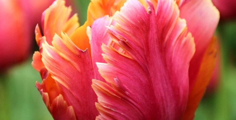 """Tulipán """"Amazing Parrot"""""""