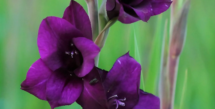 "Mečík ""Purple Flora"""
