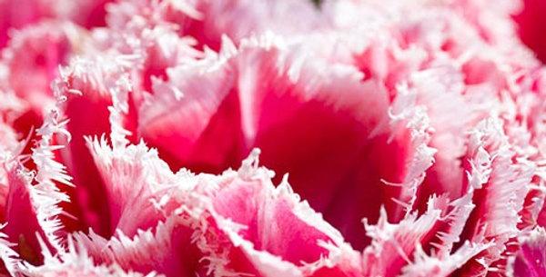 """Tulipán """"Queensland"""""""