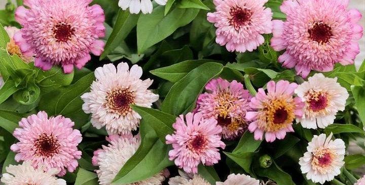 "Cínie ""Zinderella Lilac"""