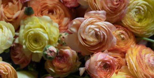 """Pryskyřník Elegance ® """"Romance"""""""