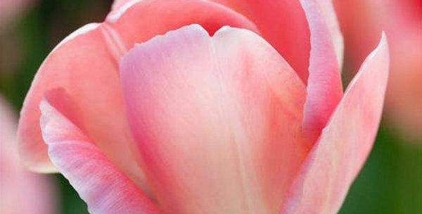 "Tulipán ""Mystic van Eijk"""
