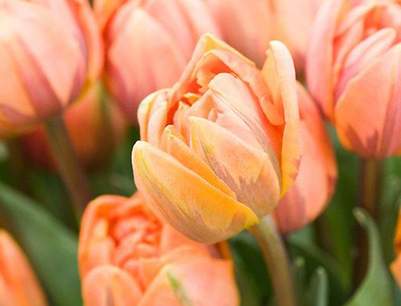 """Tulipán """"Orange Princess"""""""