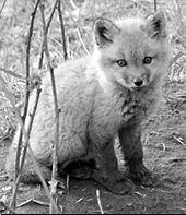Deeper Still Deeper fox img.jpg