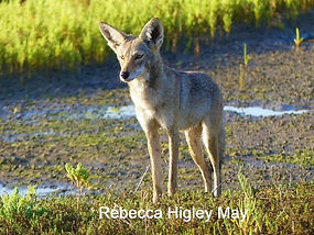 Rebecca%2520coyote_edited_edited.jpg