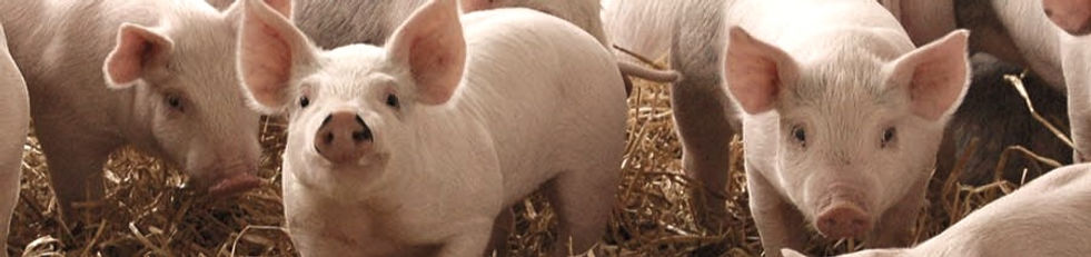 MAIN-Pigs-infected-post-weaning-are-part