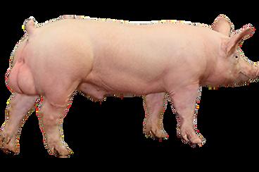 PIC337-Boar-Image-Website_edited.png