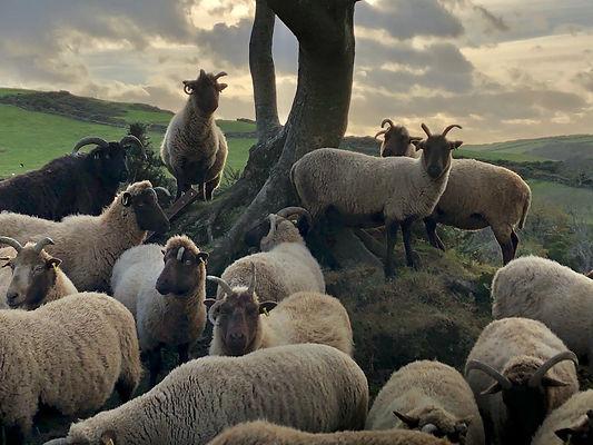 manx_loaghtan_sheep_ballacosnahan_flock