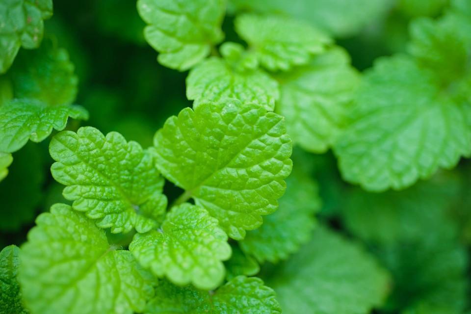 Image of Lemon Balm Herb