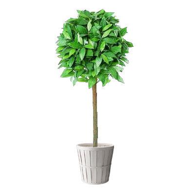 4ft Bay Tree