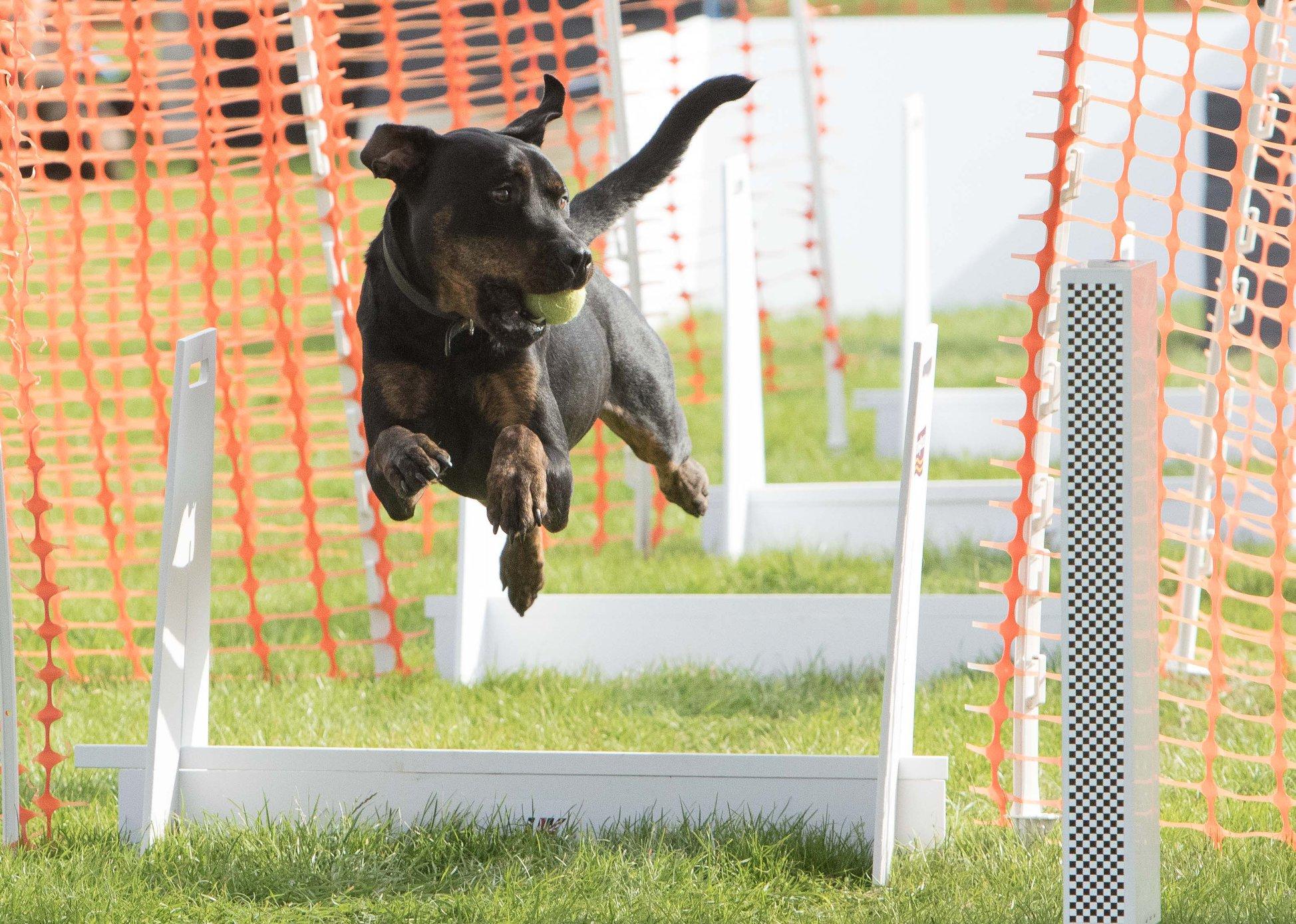 Alfie - X Breed (Rottweiler X)