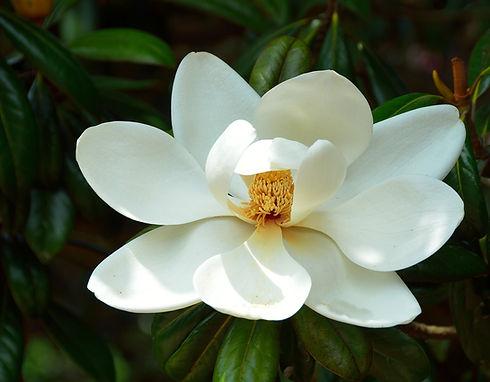 magnolia-flower-1651990_1920.jpg