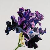 Bearded Iris Print