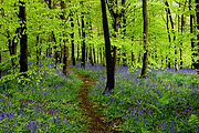 BLUEBELL WALK RECTORY WOOD.jpg