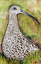 Curlew. Print.