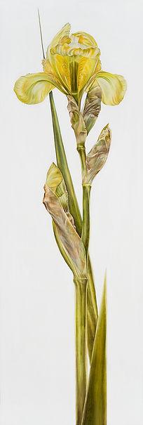 Original Art. Oil on canvas.  Yellow Iris