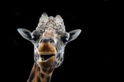 Giraffe'n Me Crazy