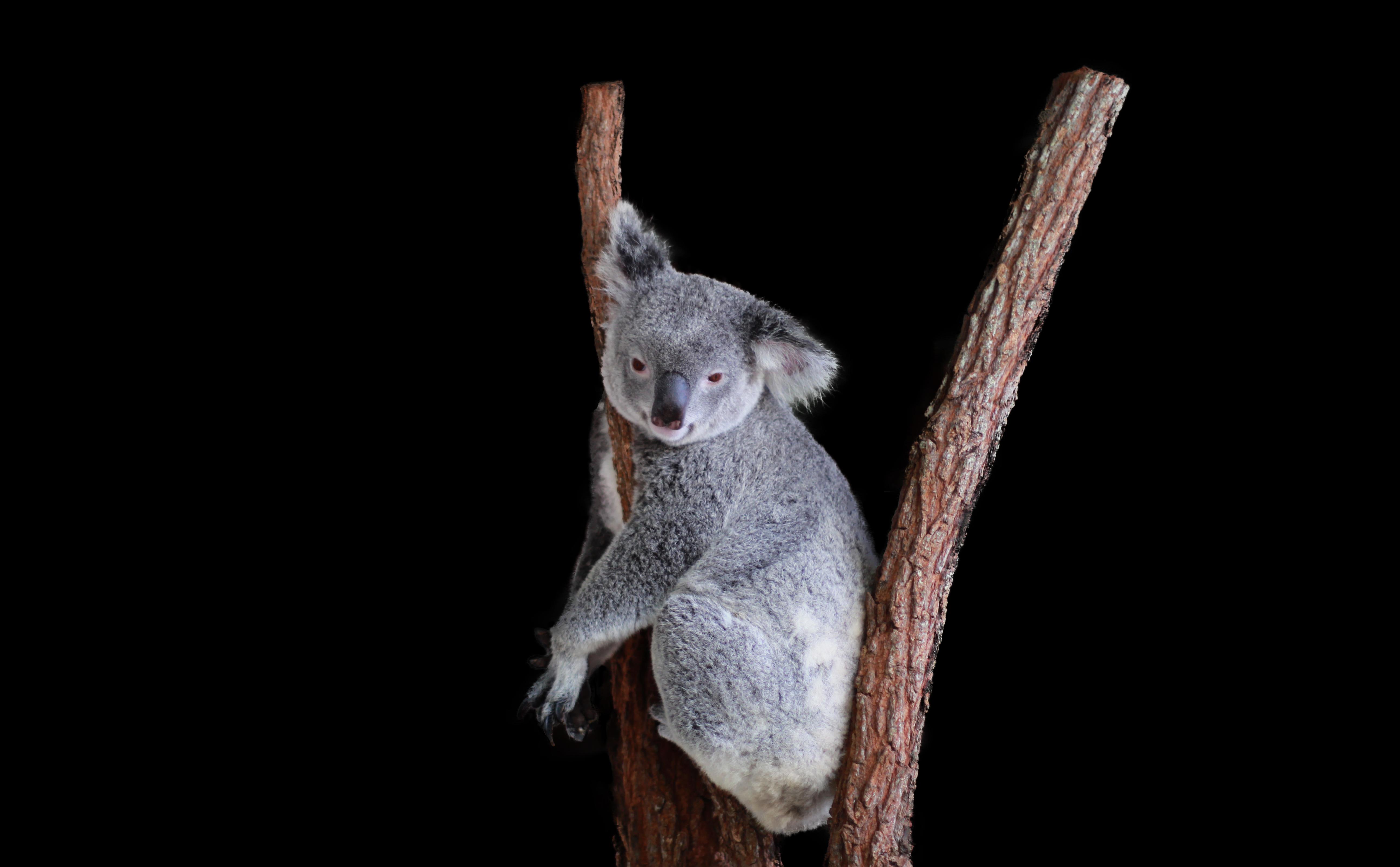 Kiki the Koala