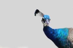 Peacock Sass