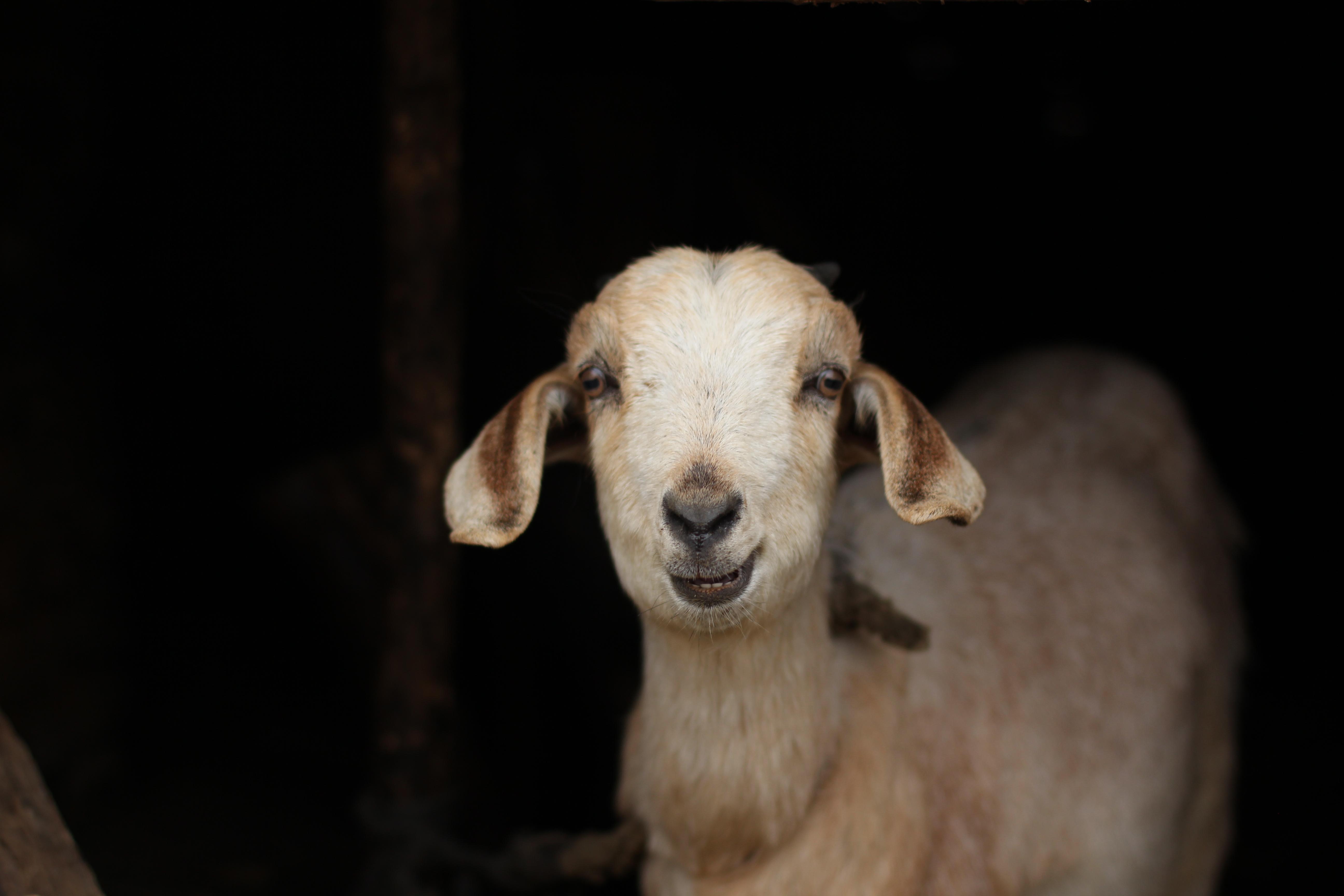 Goaty Grins