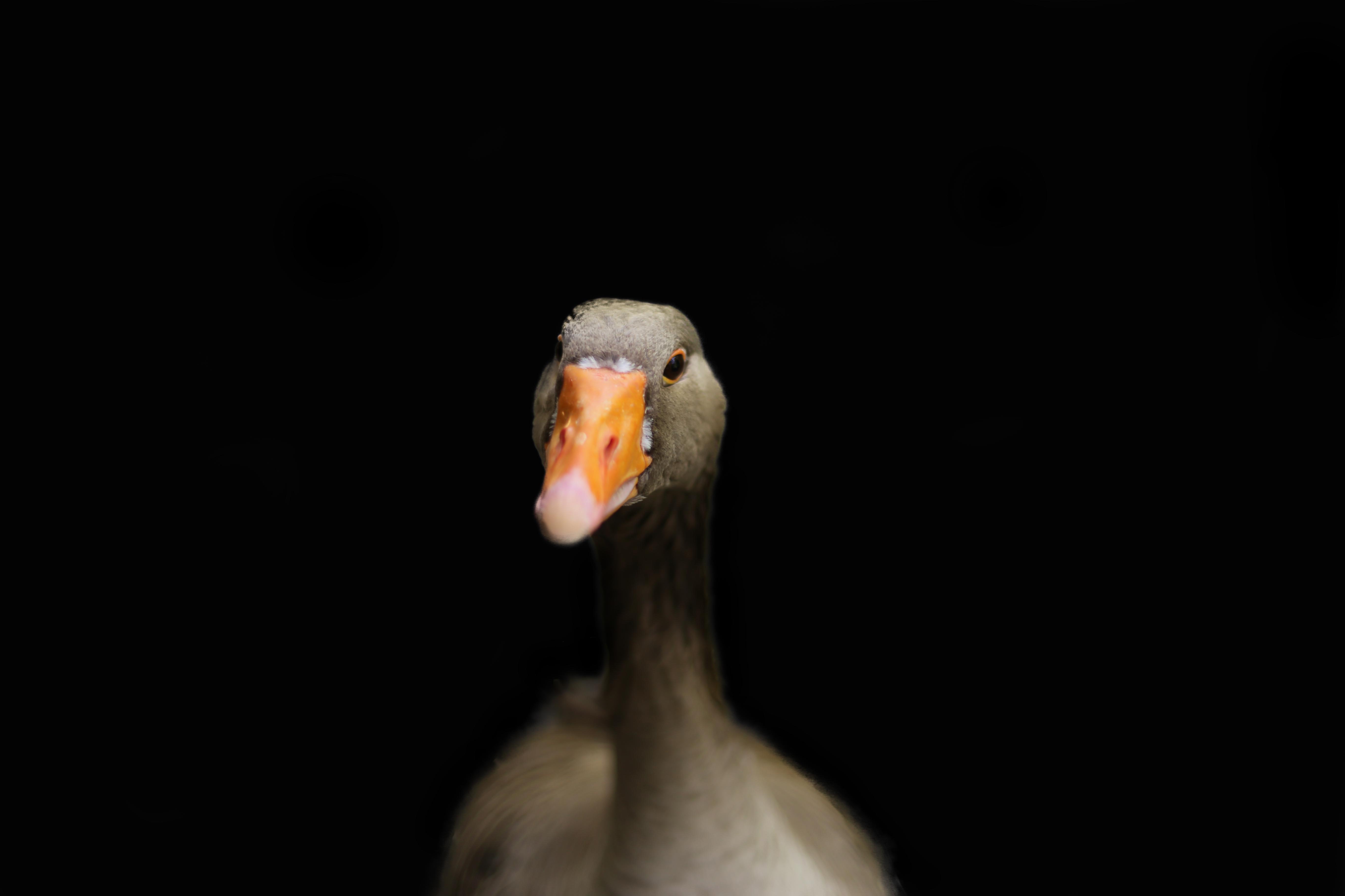 Gav the Goose