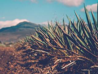 Puebla mantiene su posición de segundo productor de mezcal a nivel nacional