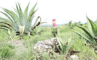 Tamaulipas mezcalero