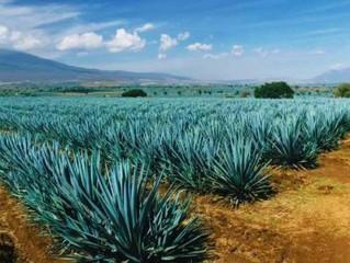 Busca Sinaloa ser parte de la denominación de origen mezcal