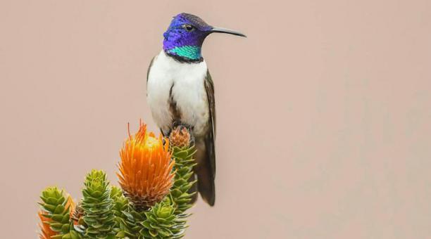 La Estrellita Ecuatoriana mide 14 centímetros de altura tiene el canto más agudo entre los pájaros.