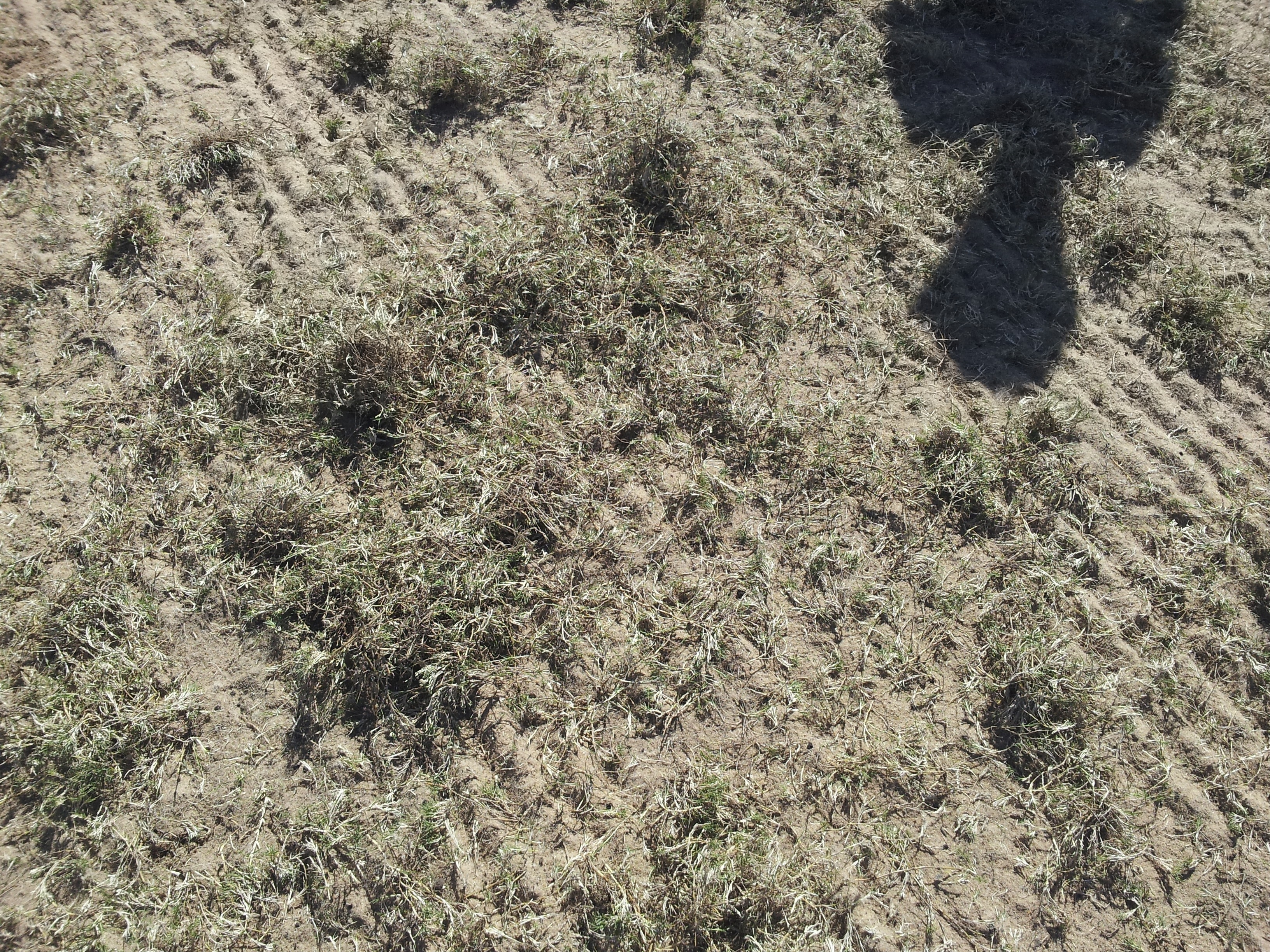 Sprigging the pitch - Tifgrand