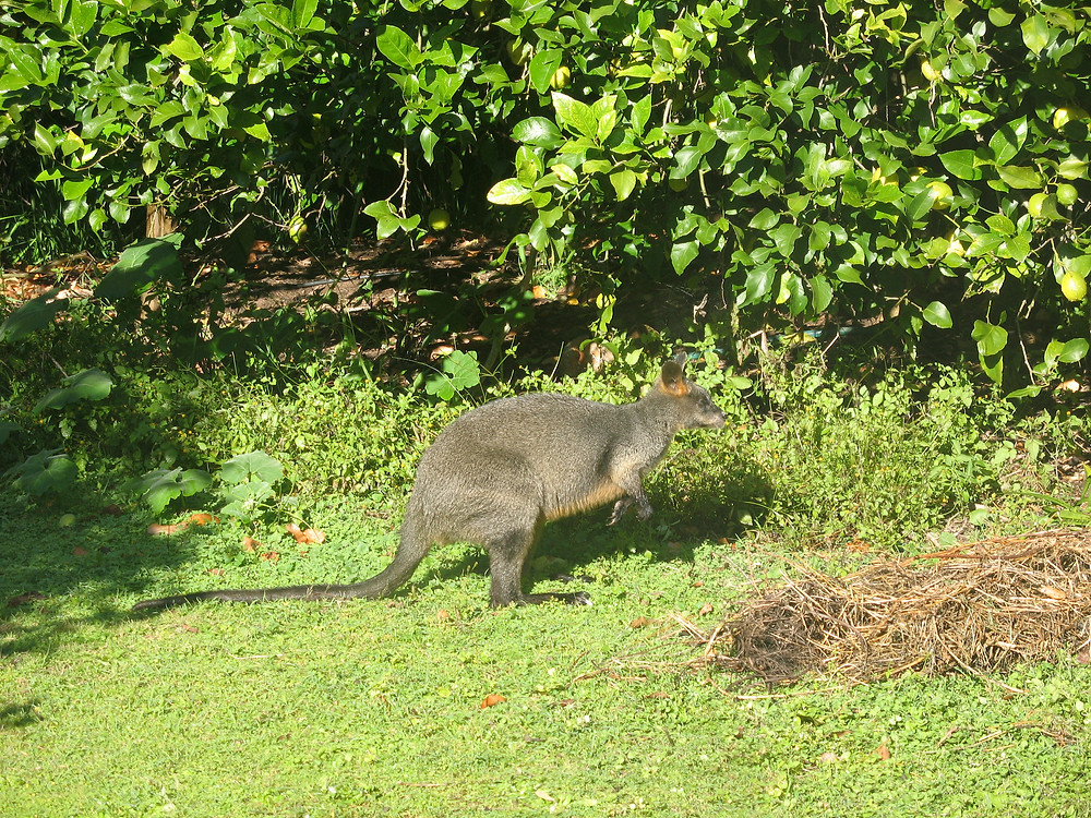 Wallaby amongst the lemons