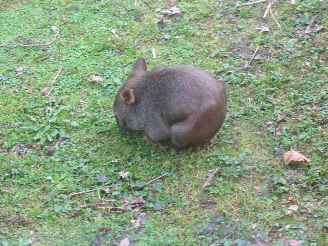 Furry Wombats, Furry Knees