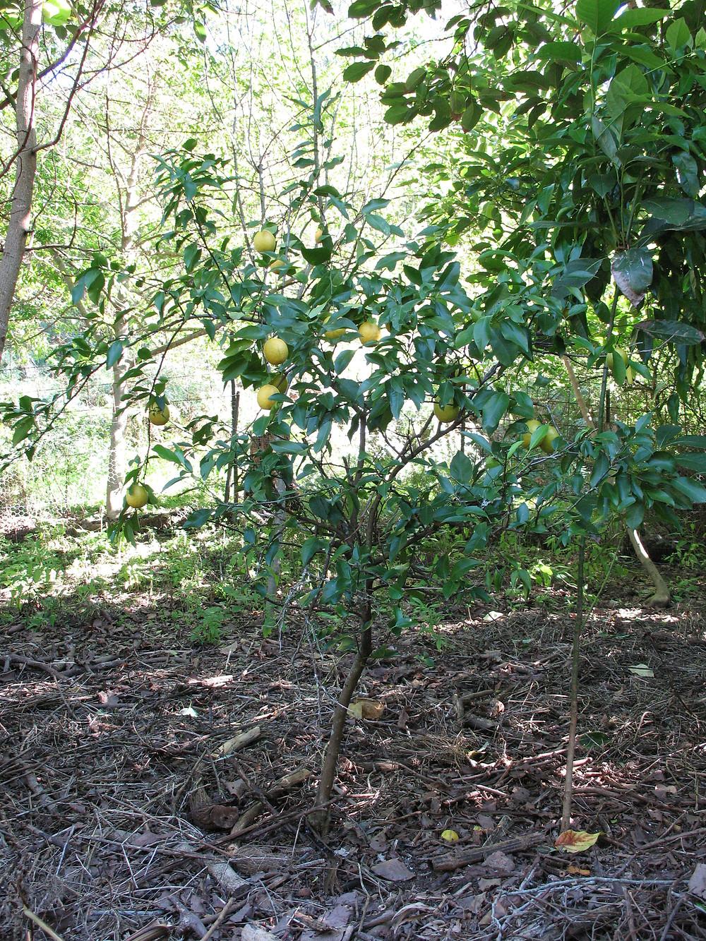 Lemonade fruit