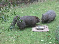 Combat wombats