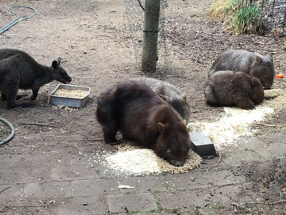 Wombat News