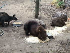 fire wombat and others.jpg
