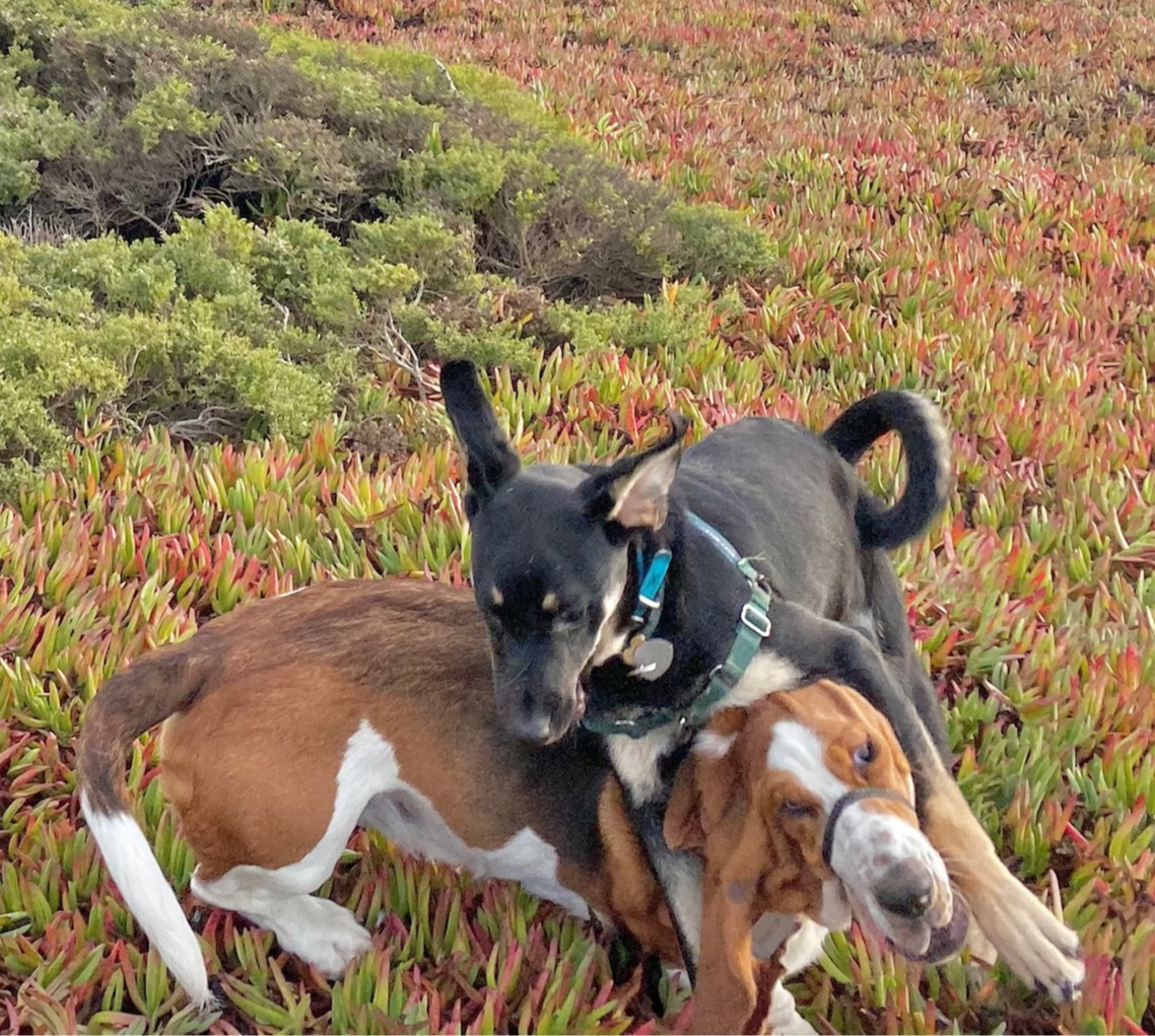 Two Dogs Wrestling